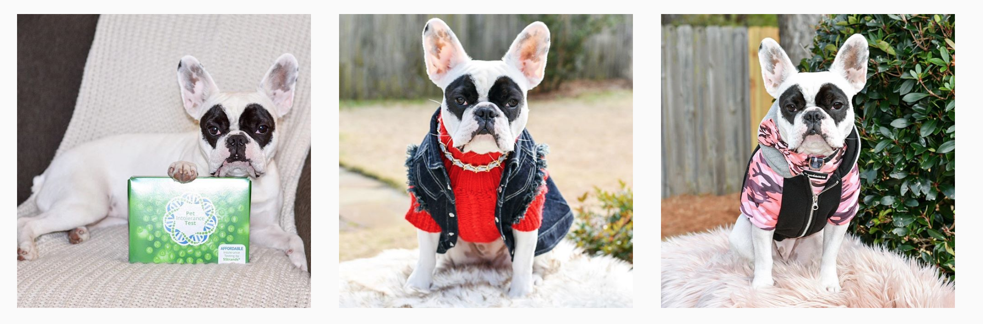 lily the masked frenchie.png