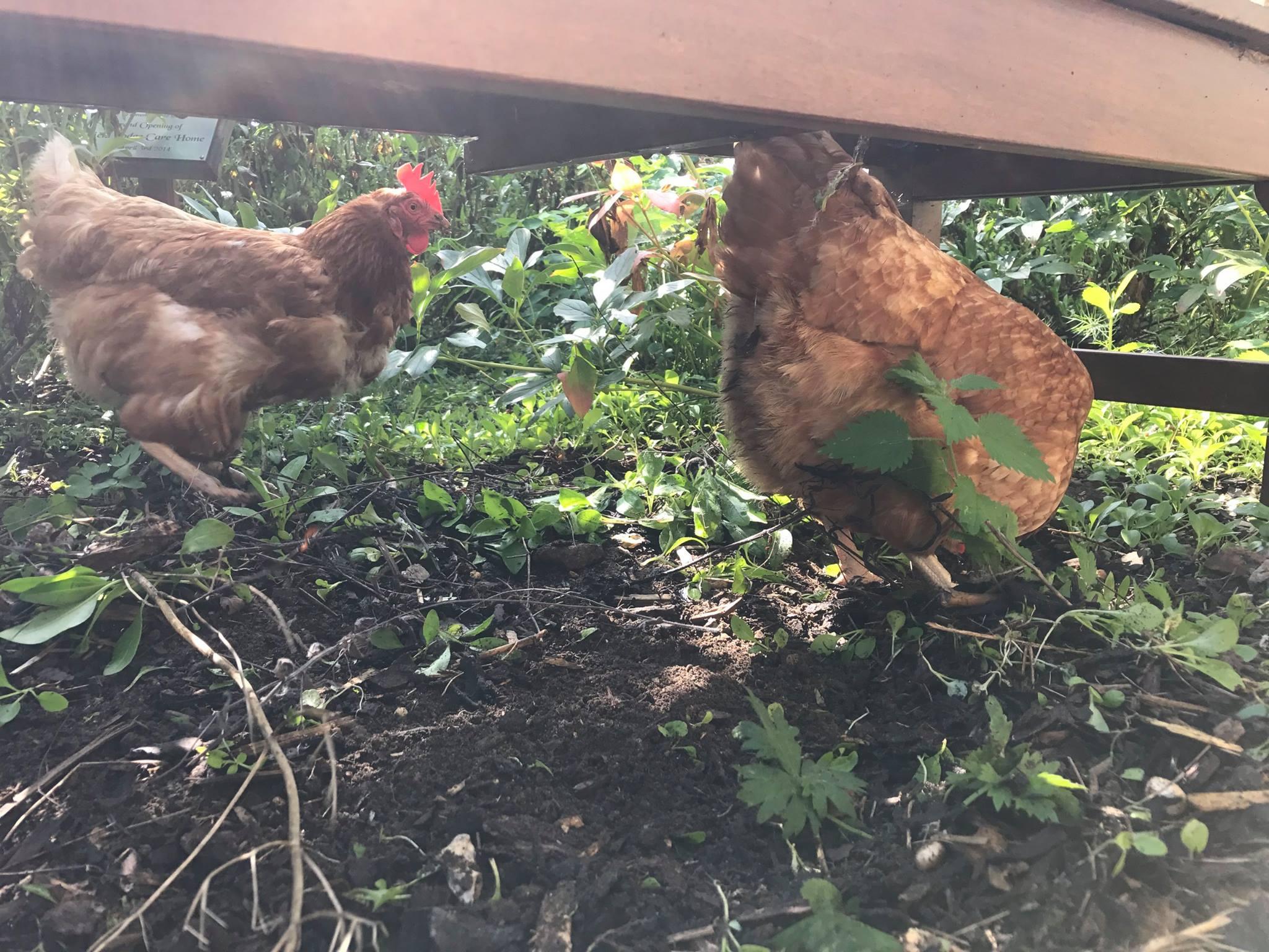 Field Lodge chickens.jpg
