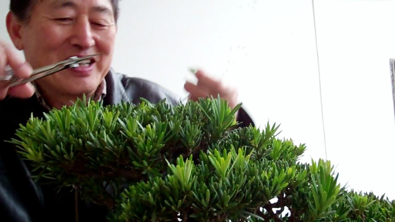 Mr. HU trims Podocarpus