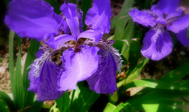 Uncommon pretty dwarf iris