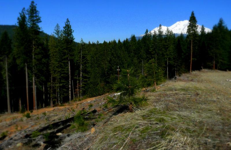 Yellow pine seedlings and Mt Shasta BaiSha