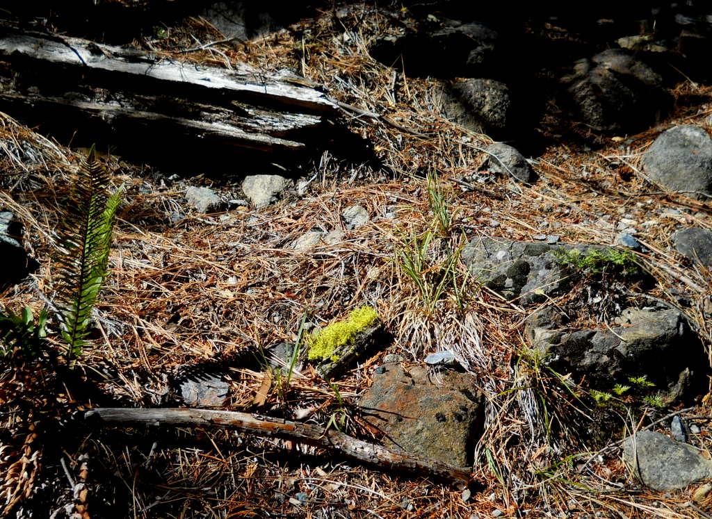 Sword fern and Cliff brake fern
