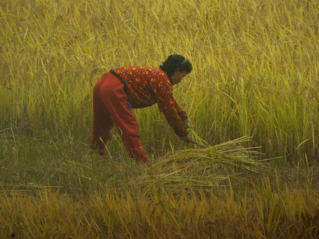 Rice harvet, photo by D E