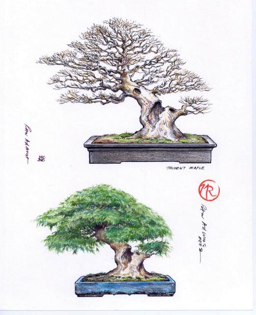 Bonsai portfolio Trident Maple