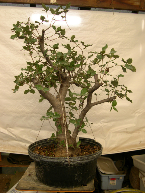 Native oaks require native soil and a long period of adjustment after collection.