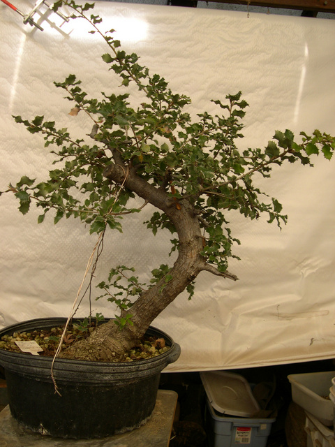 Canyon Live Oak Quercus Chrysolepis