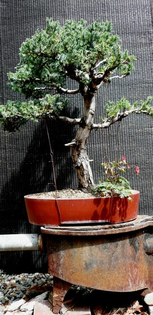 Juniperus Cheninsis -- Blue Alps