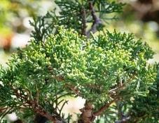Juniperus cheninsis 'Shimpaku'