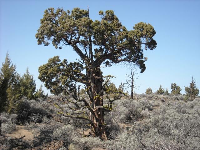 Juniperus occidentalis var. occidentalis