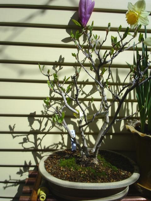Magnolia lilifolia