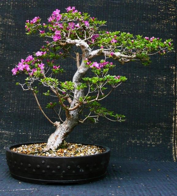 Azalea kiusianum 'Miyama-kikishima'