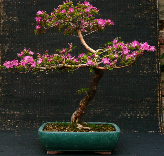 Azalea kiusianum 'Miyana-kikishima'