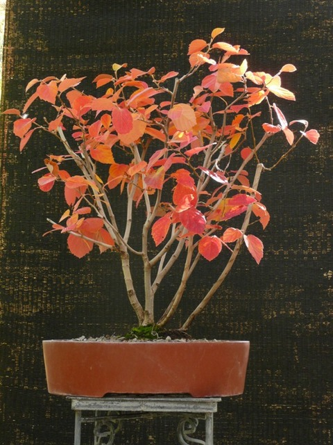 Fothergilla alnifolia