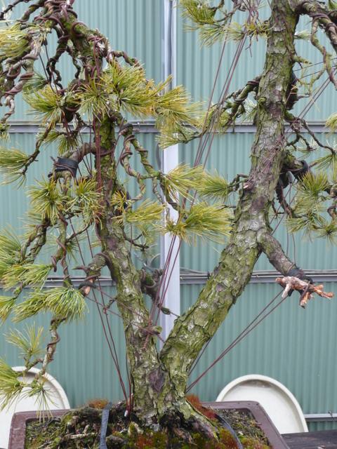 Bonsai Culture - Wire