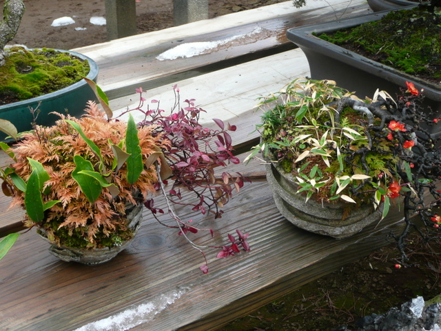 Darling accent plants, combined in raku fired stacked pots. Ferns on the left, miniature bamboo and quince on the right.
