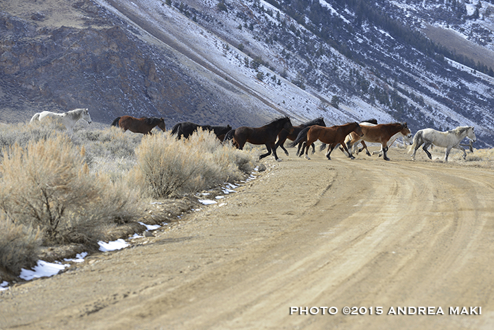 Band on the run, Challis wild horses.