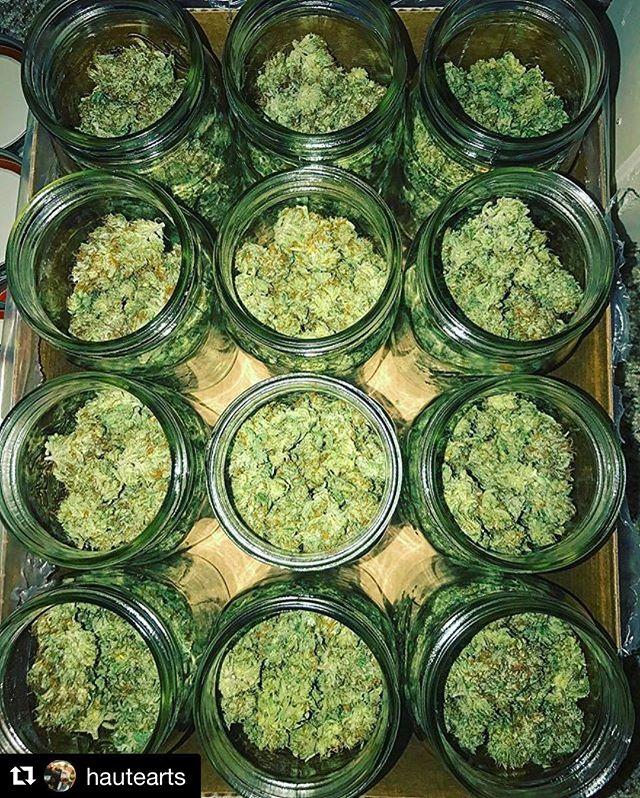 Gilz Nilz 🐊#Repost @hautearts with @repostapp ・・・ Gilz nilz in for the cure! #swampboysseeds #gilznilz #maryjanemania #cannabis #cannabisculture #cannabiscommunity #420 #hightimes #terps #terpenes
