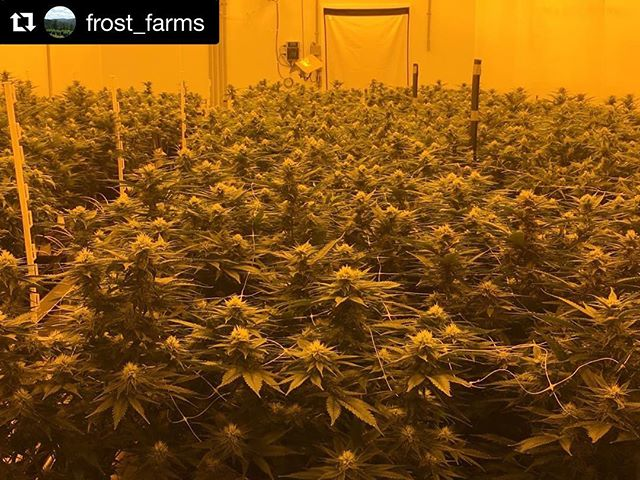 Talk about eye candy! 🐊#Repost @frost_farms with @repostapp ・・・ A room full of swamp boys genetics. #swampboyseeds #first48 #OBTK #kromeswhite #trianglefamily #cornbreadricky #frost_farms #dontdoubtit #allthingsweed