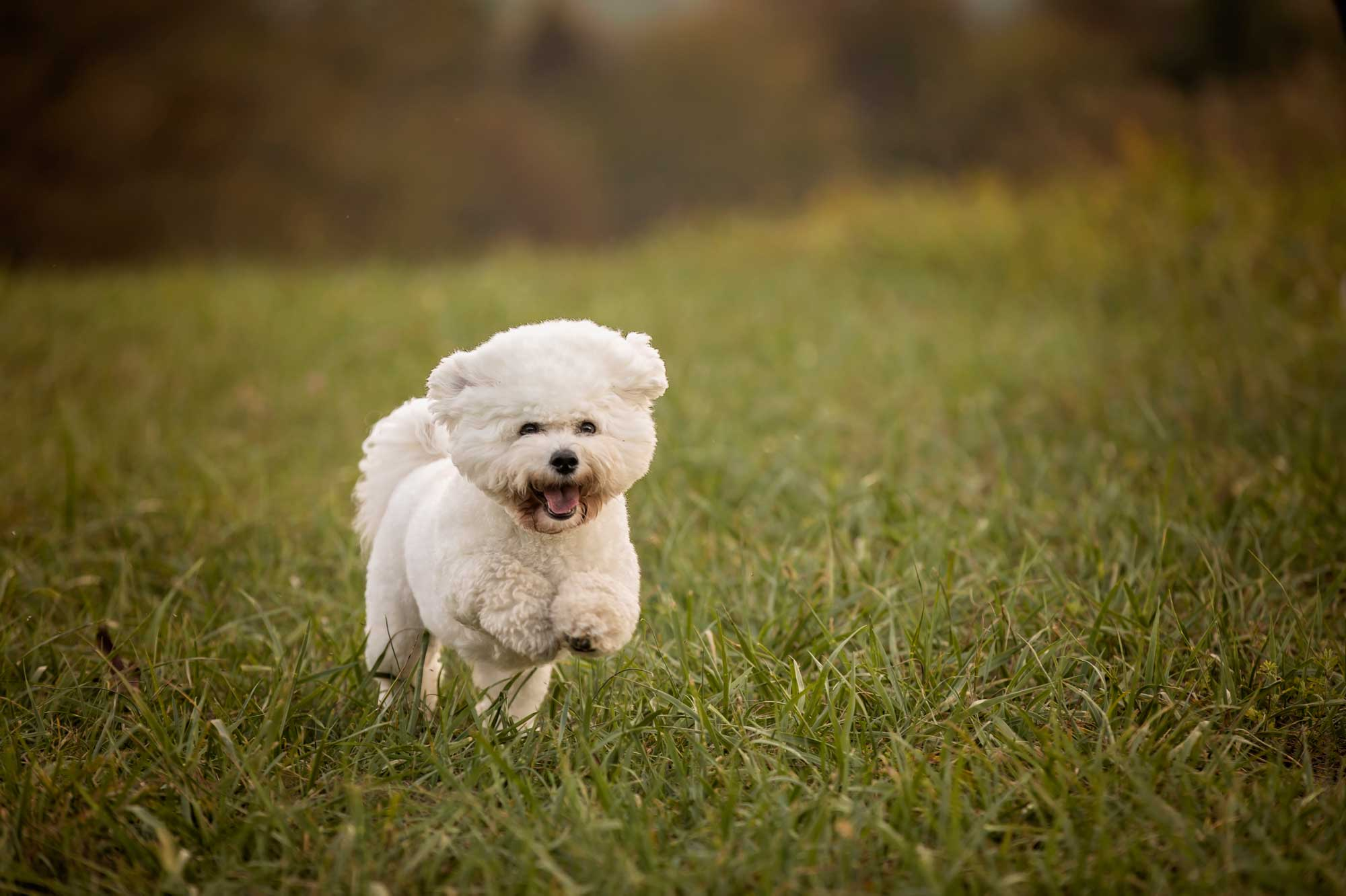 gatlinburg-pet-photography-bichon-friche.jpg