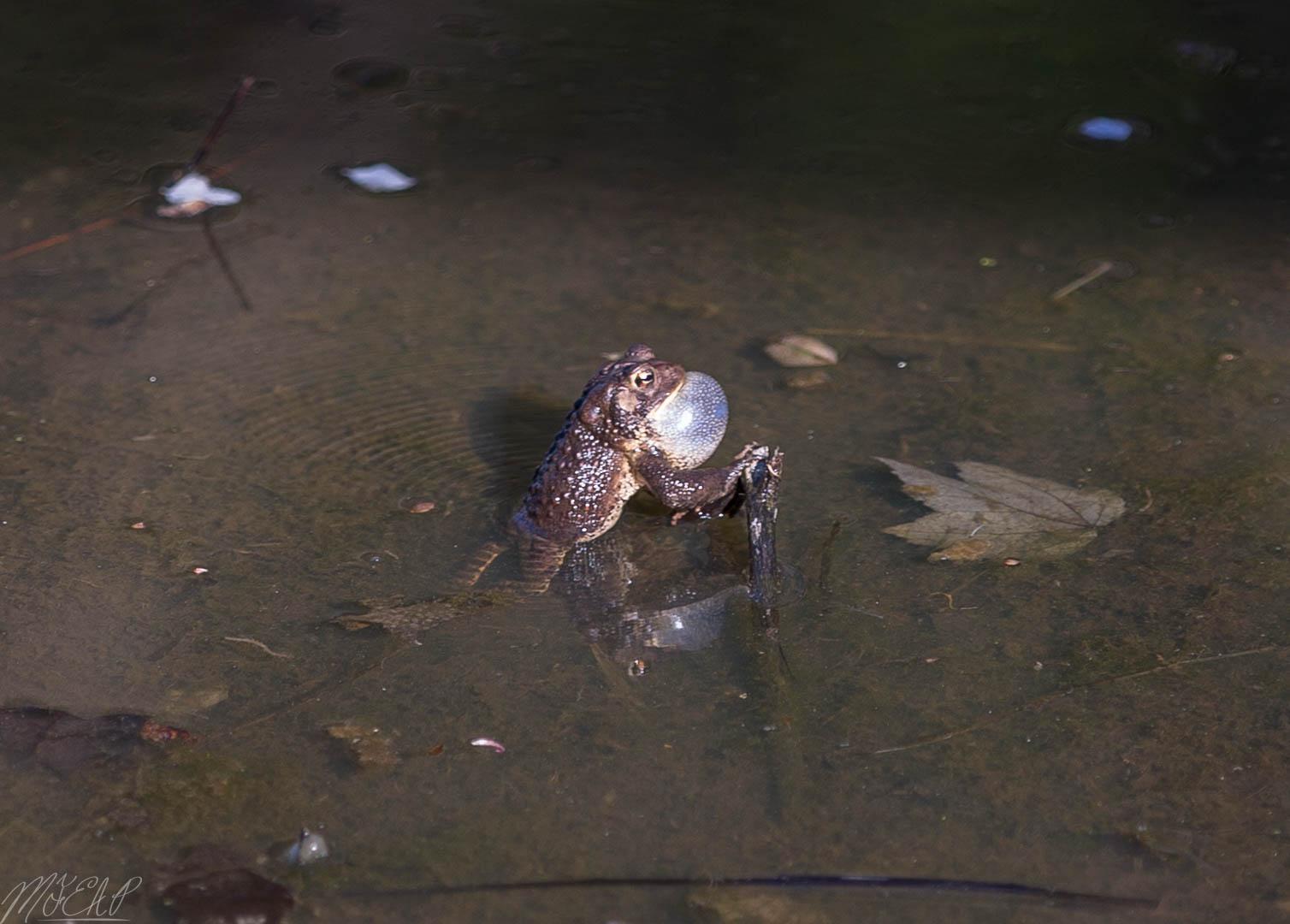 Singing toads