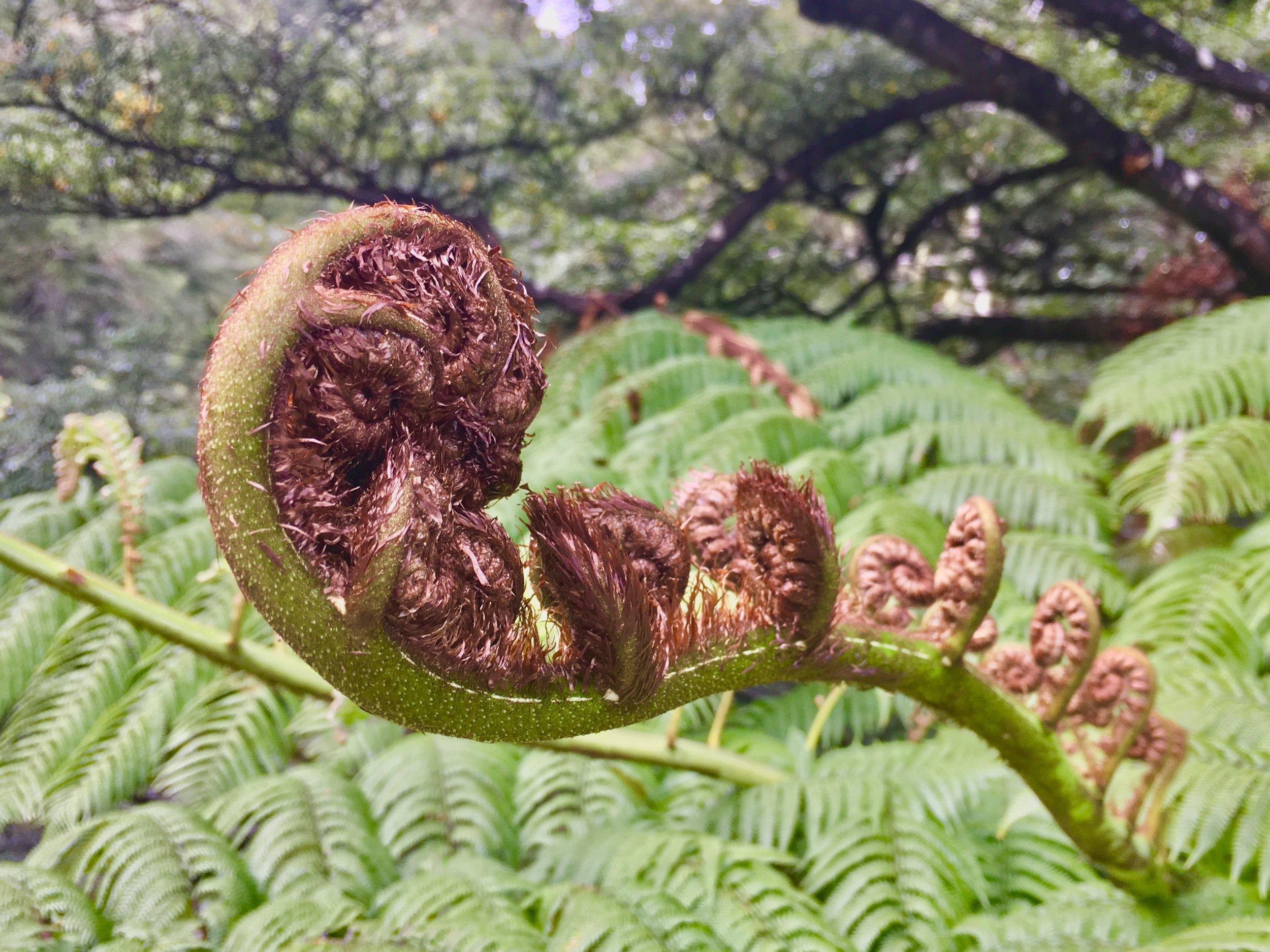 Tree fern unfolding