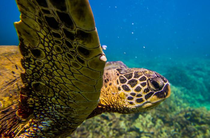 """Incluyendo a las tortugas marinas o """"Honu"""" como se les dice en Hawaii."""