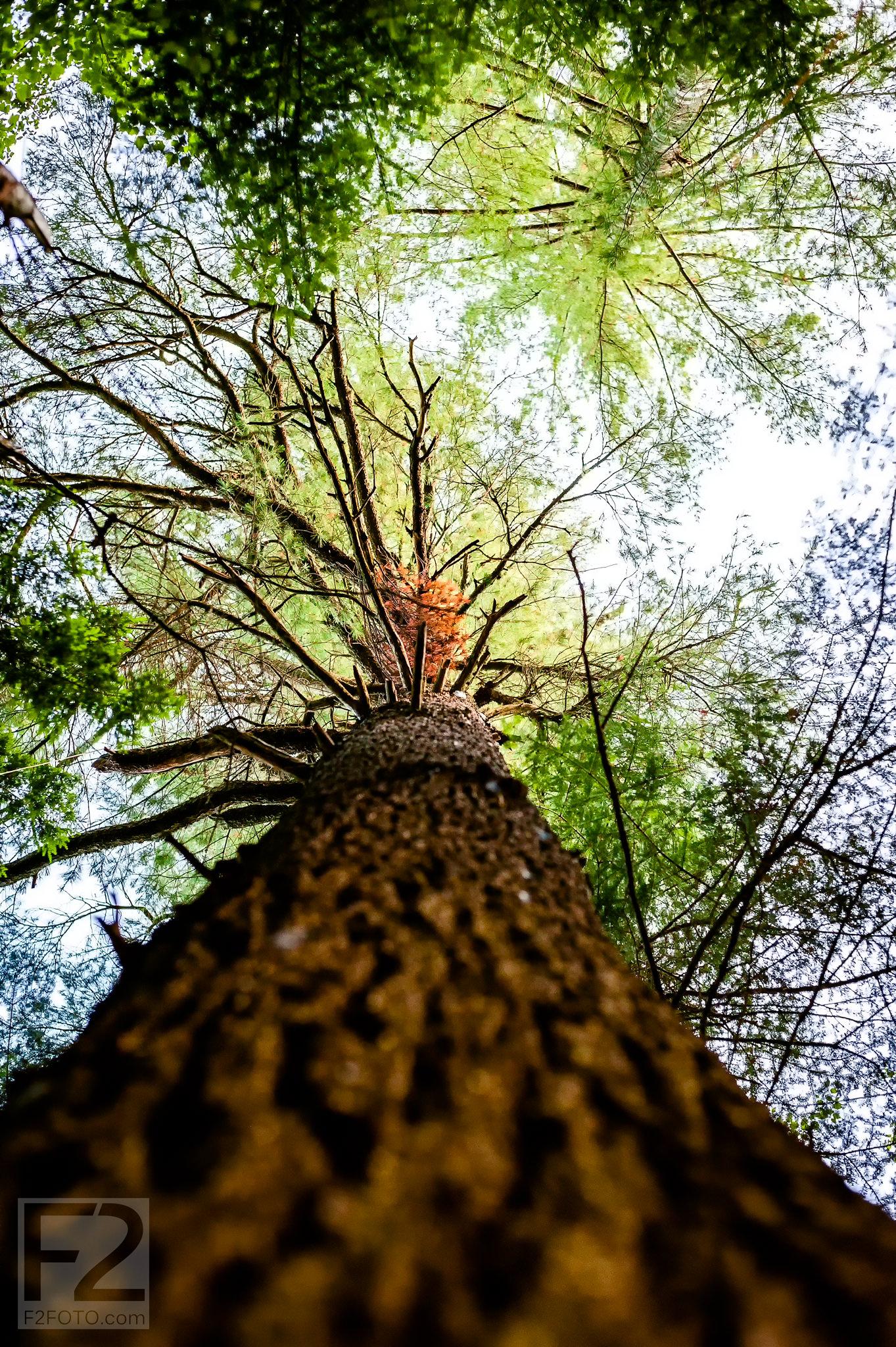 Eastern-White-Pine-Tree-Climb-1_1.jpg