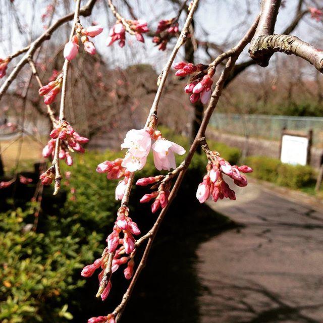 咲き始めの桜見つけた🌸 #枝垂れ桜#つぼみ#咲き始め#春