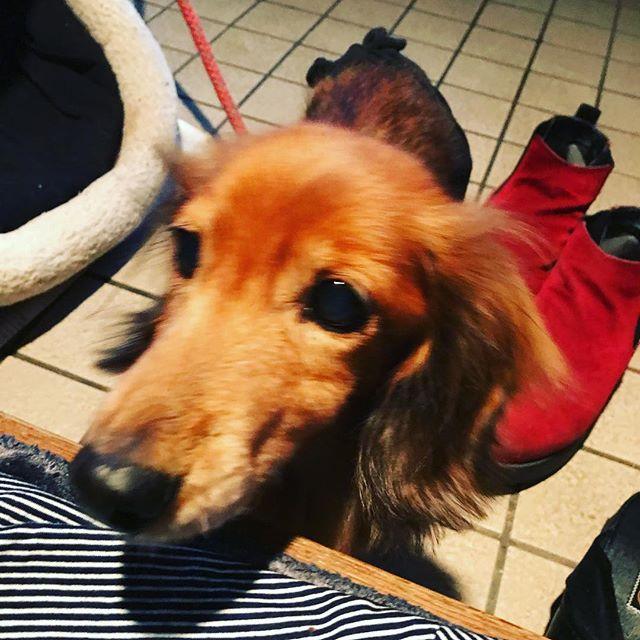 うちの愛犬ひめちゃん🐶 今日はお腹の手術の日😢  もう年だし 手術に耐えられるか わかりません もっと早く手術できたら よかった  昔の元気な姿に戻れるといいな😢  みんな応援してあげてください😢