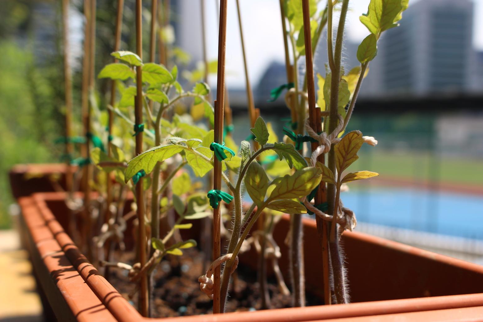 Garden Tomato box.JPG