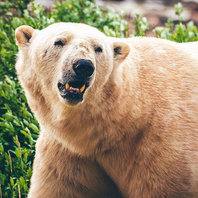 Yo Bear. 👋  #polarbear  #pleasedonteatme #wildlife  #wildlifephotography  #arcticcircle  #canada #manitoba #wildlifesafari  #wildlifephotos  #onassignment #liveferal #panasoniclumix #canadaswonderland  #canadasworld  #travelmanitoba  #exploremanitoba  #arctic