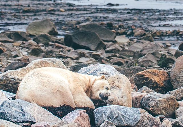 Polar Bears are exceedingly lazy (and pretty good at blending in). This was the extent of this guys movement over the span of a few hours. Not a bad way to spend a midsummer afternoon in the sub arctic.  #lazybear #osoperezoso  #polarbear  #wildlifephotography