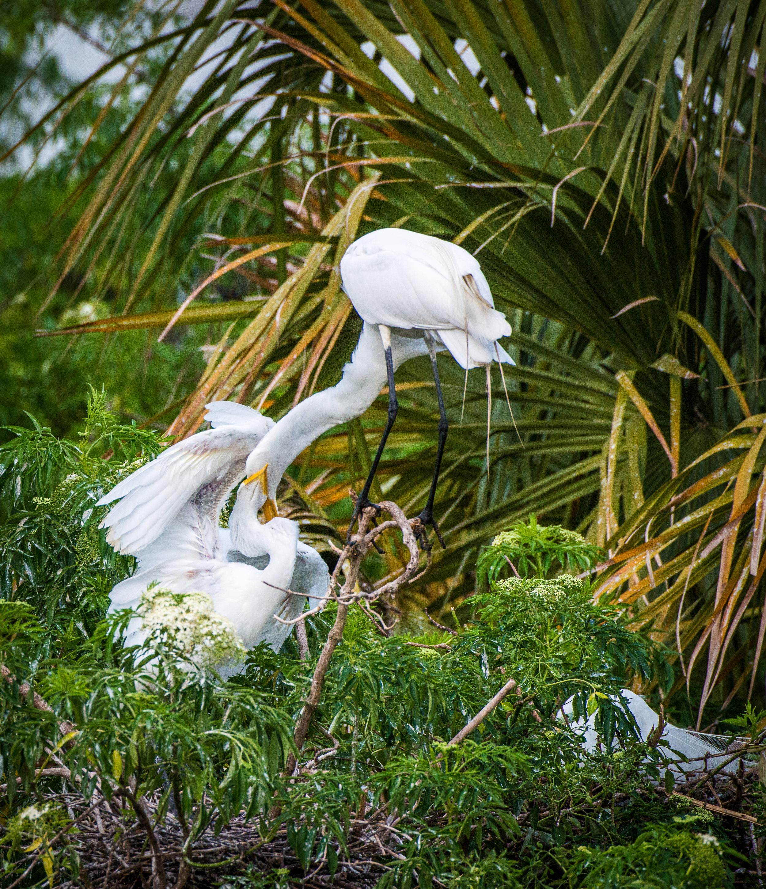 Egret feeding time