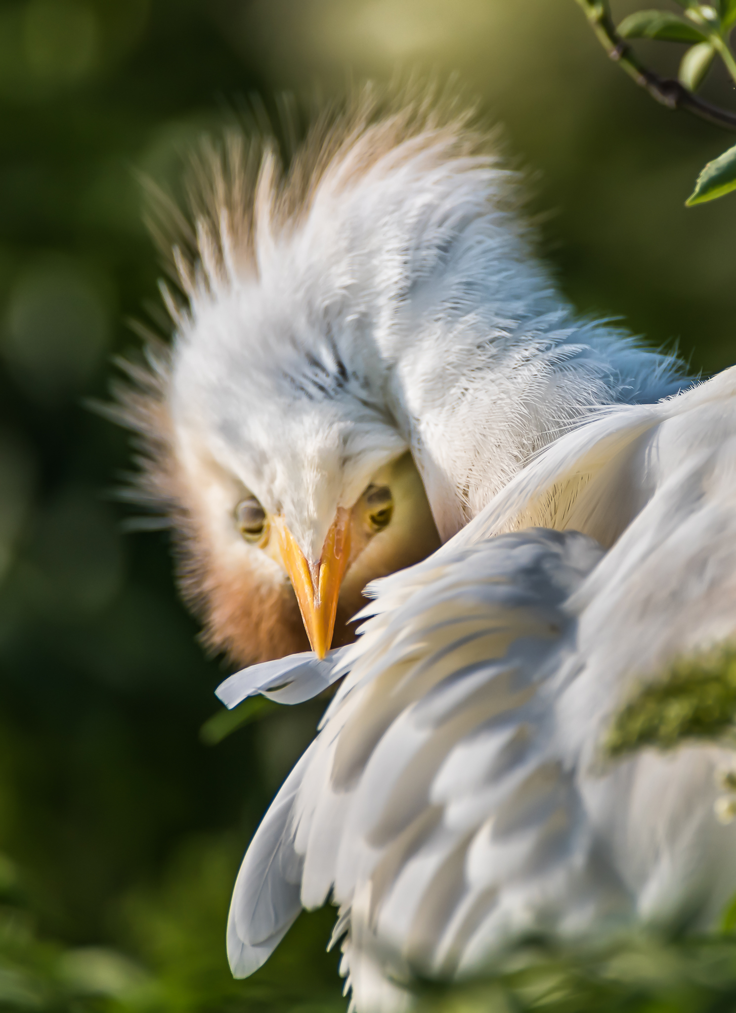 Preening Cattle Egret