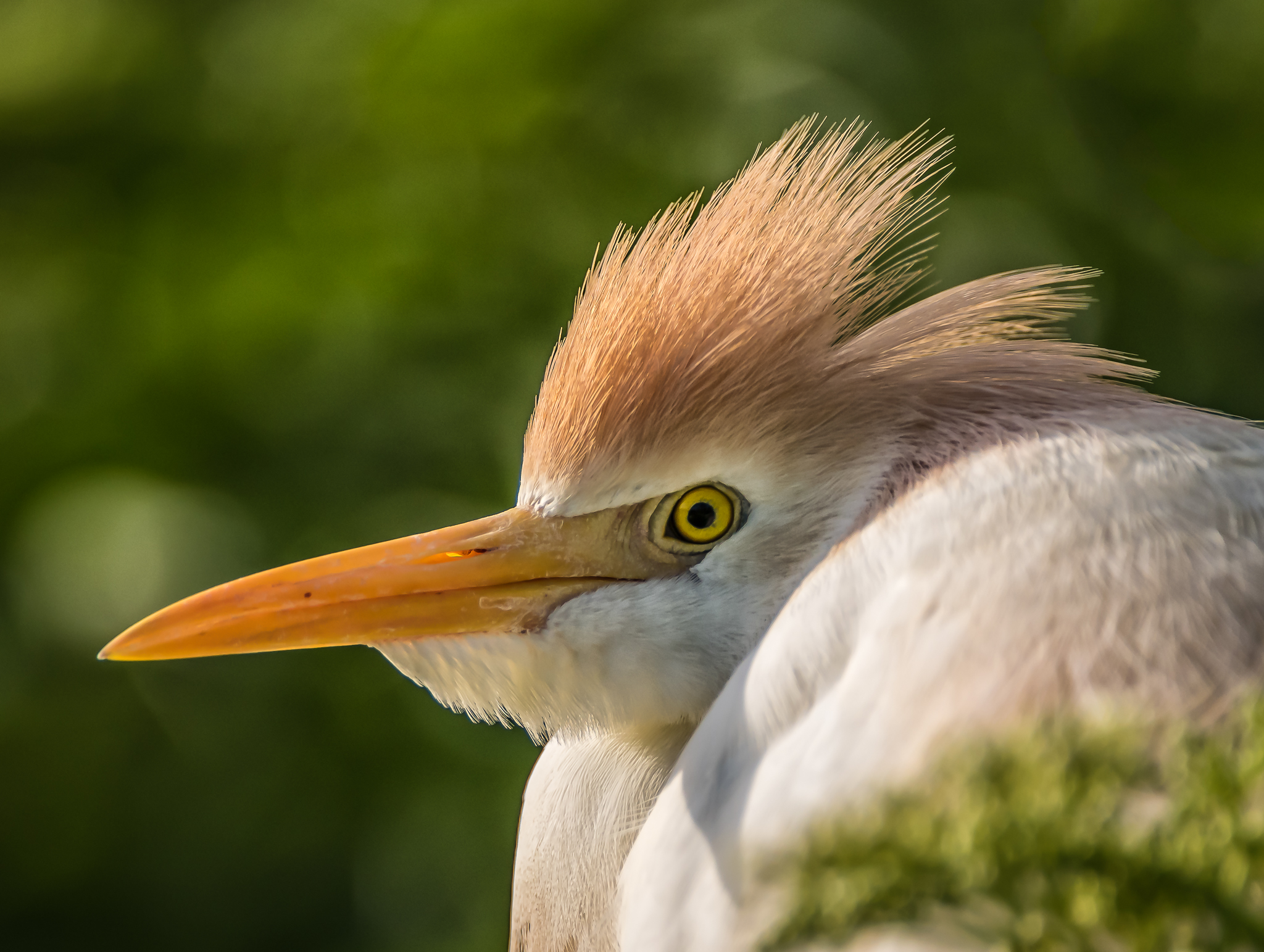 Cattle Egret Closeup 2