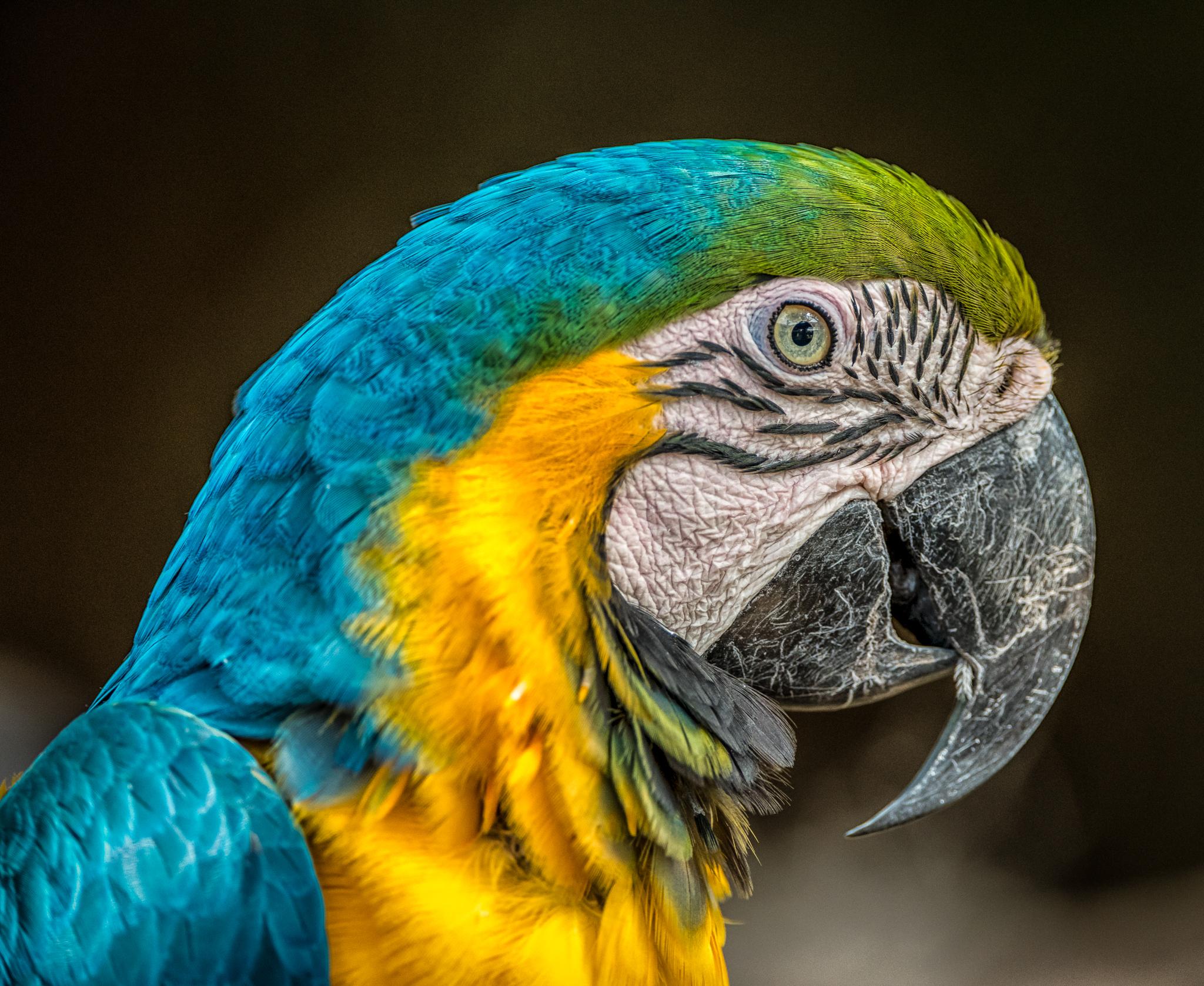 Parrot Closeup