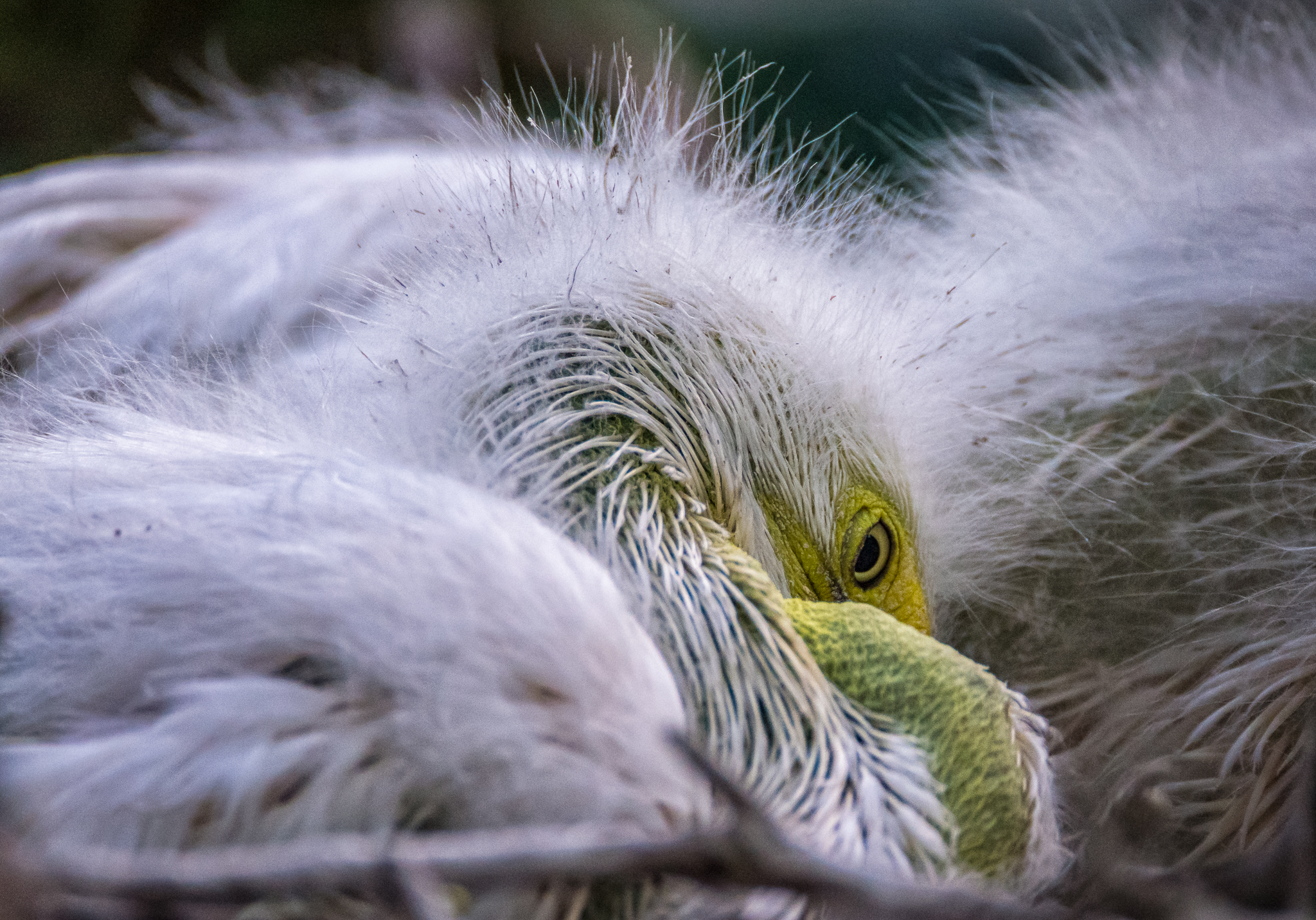 Sleepy young egret