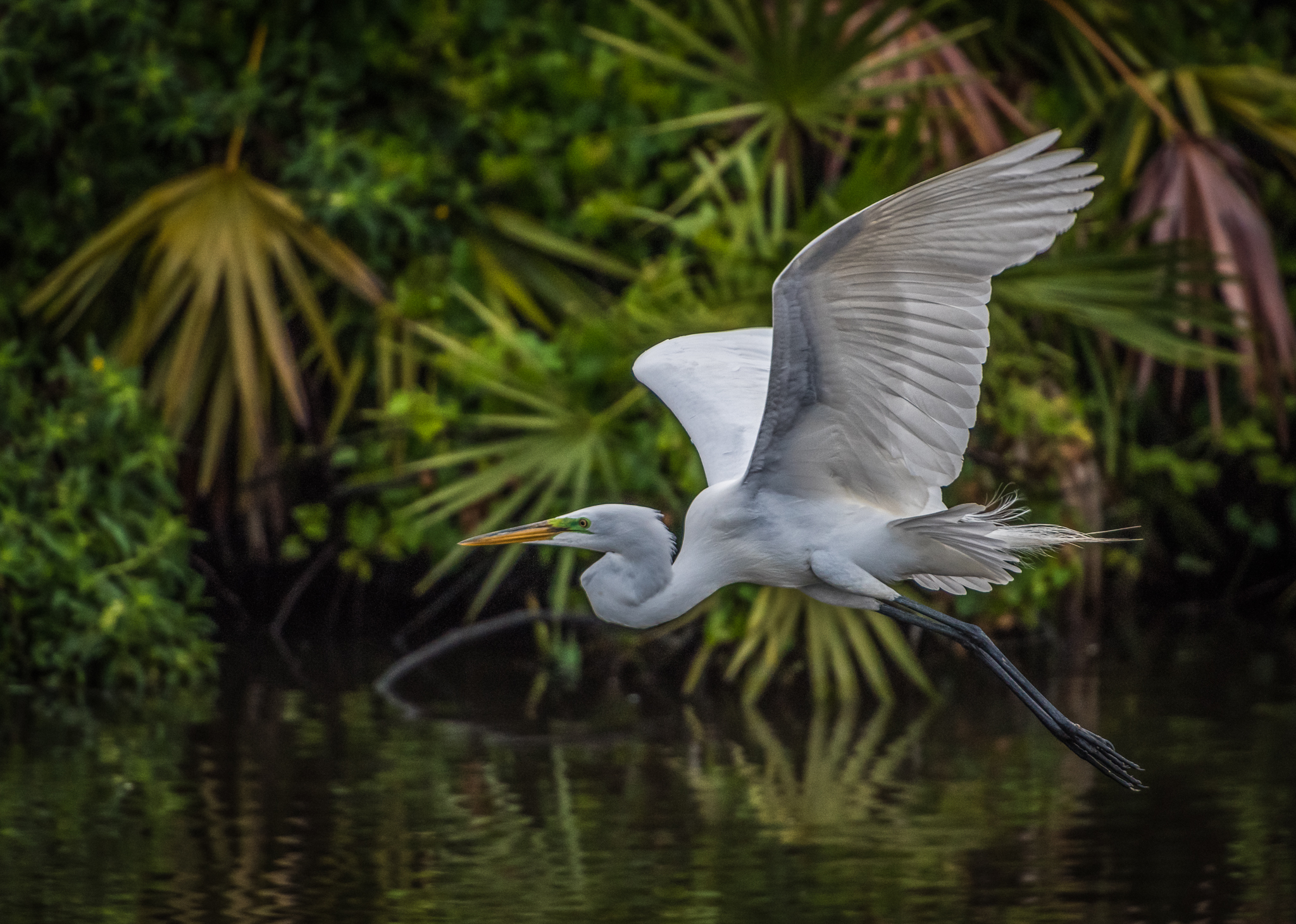 Great Egret in Flight 3