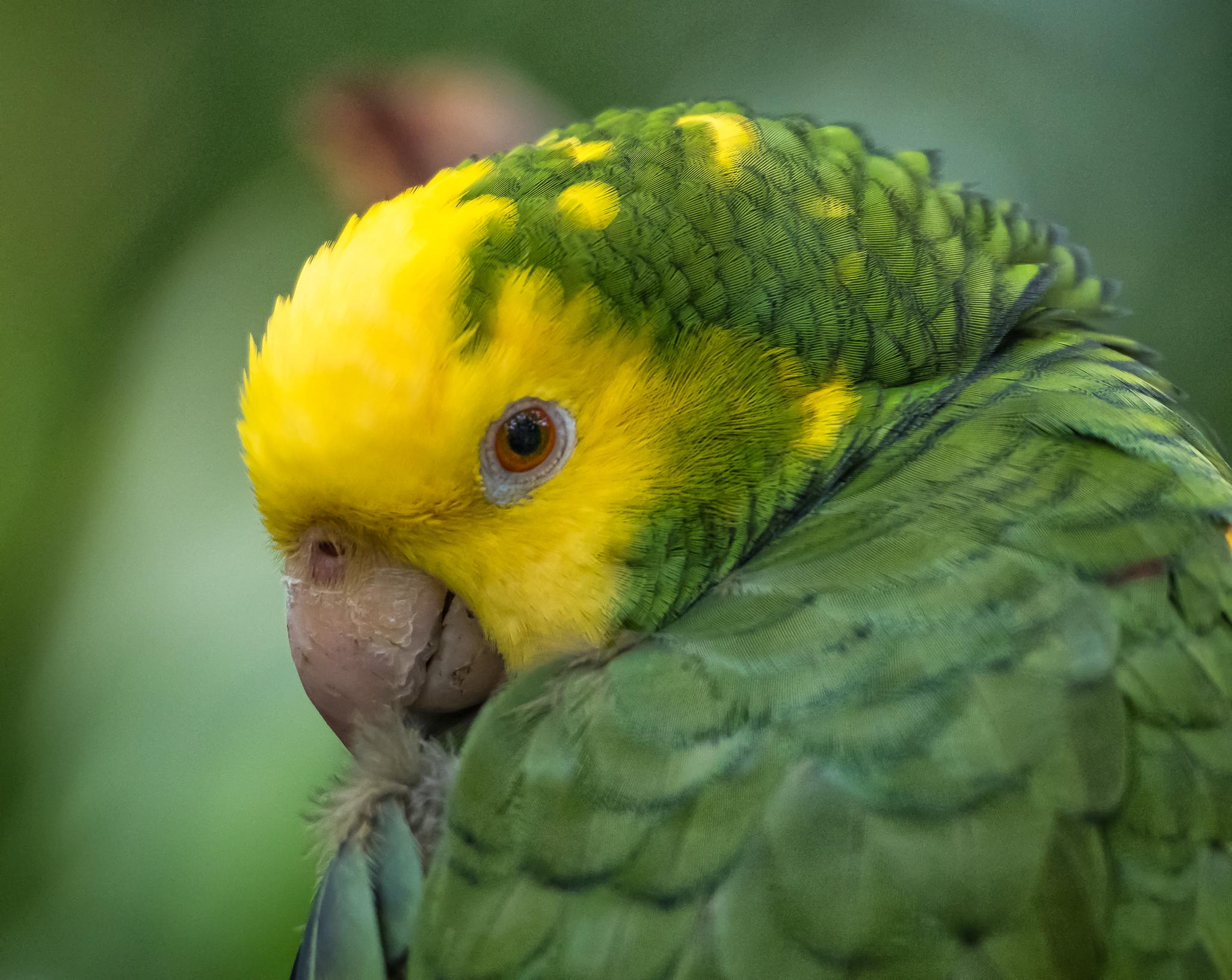 Parrot Closeup 4