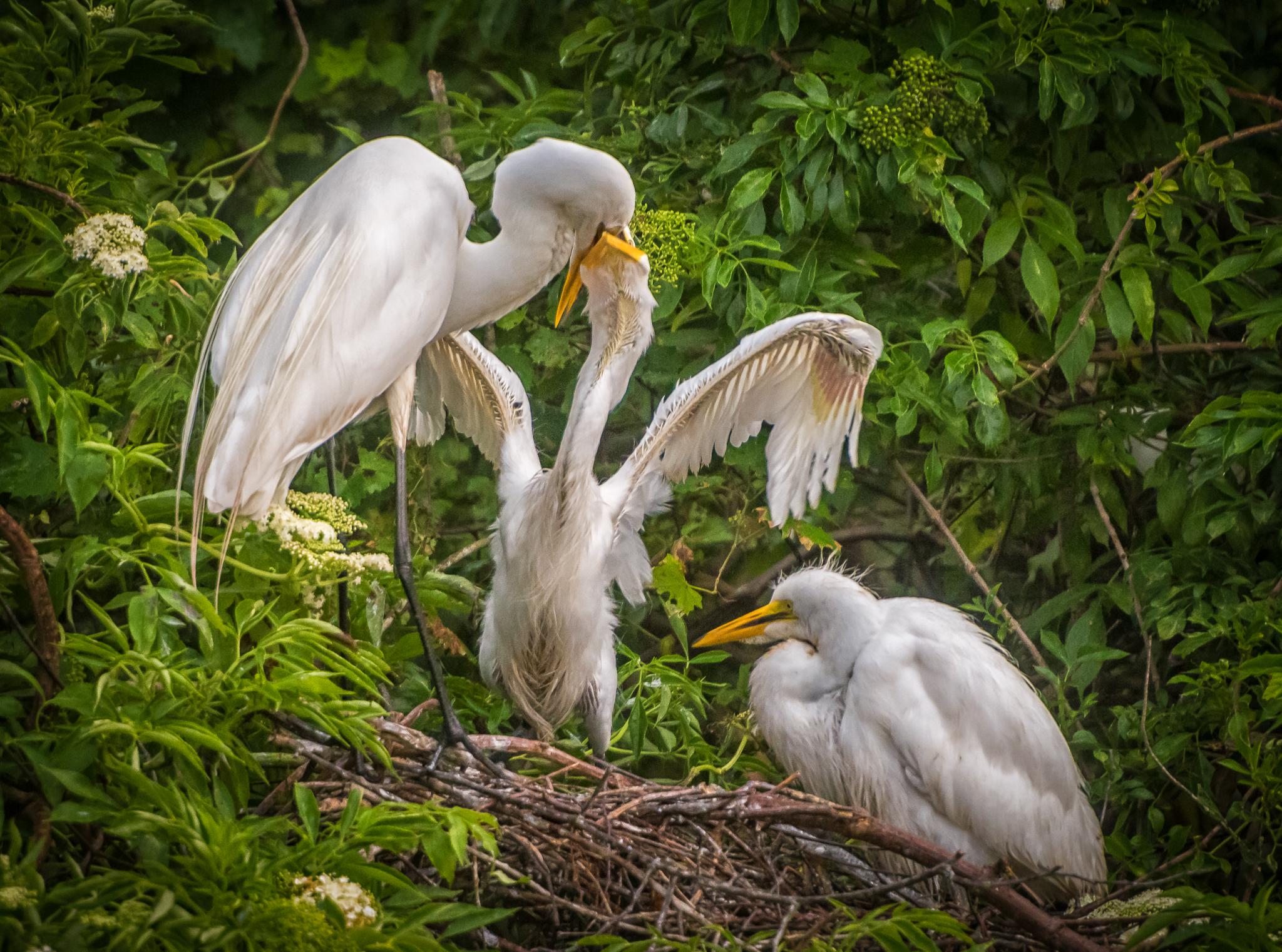 Baby Egret Feeding