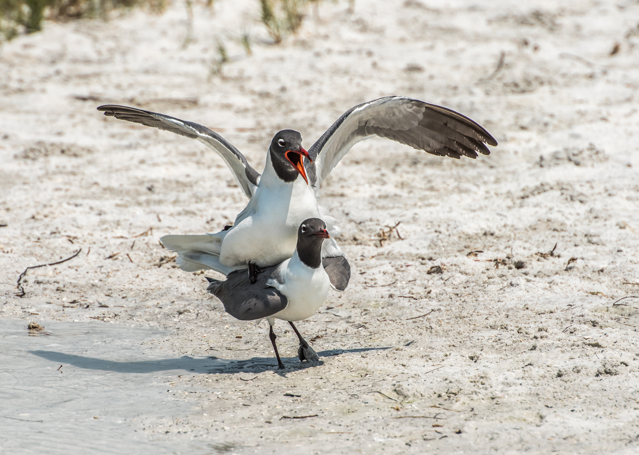 Tern Mating