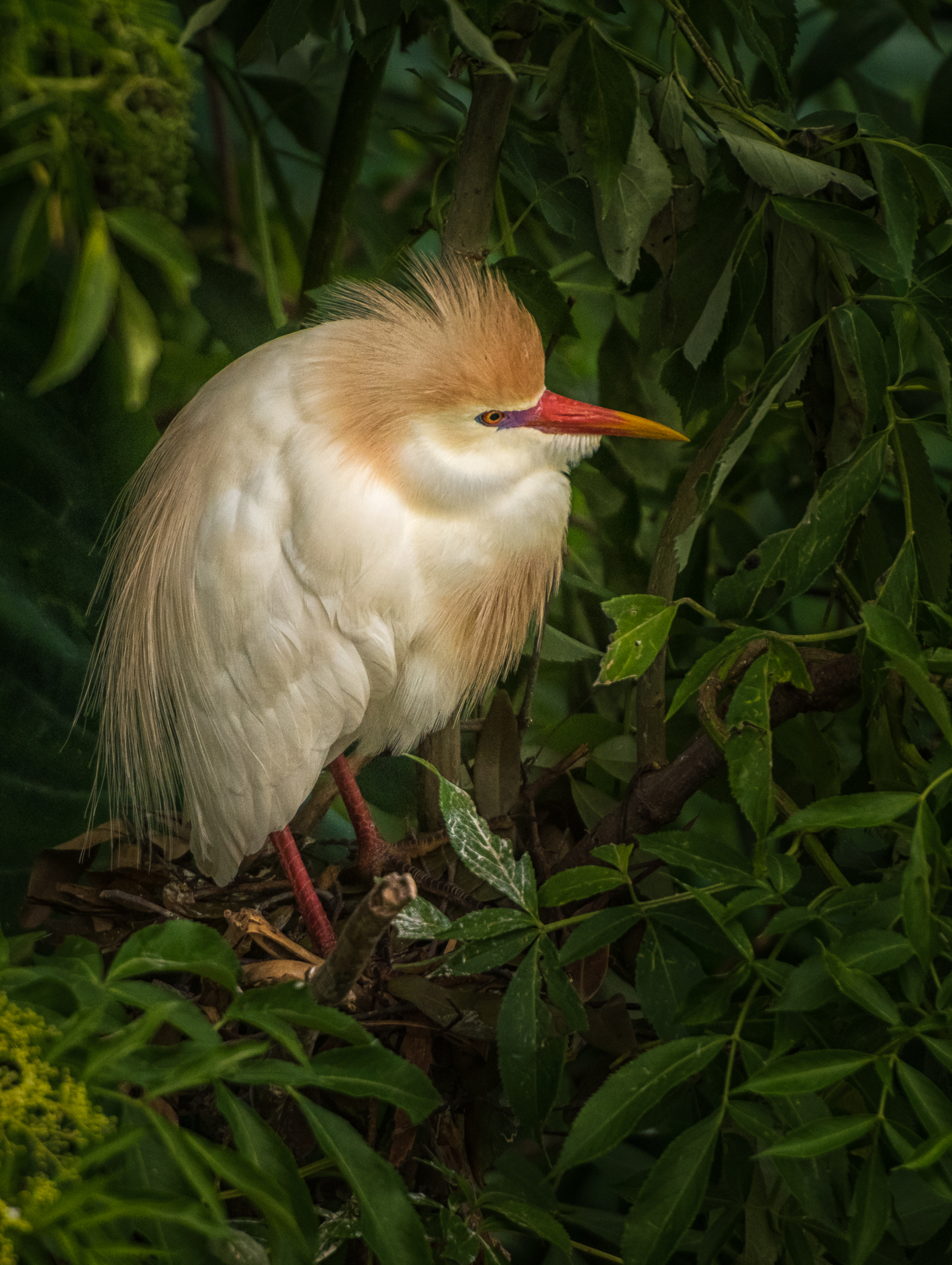 Cattle Egret in Bush