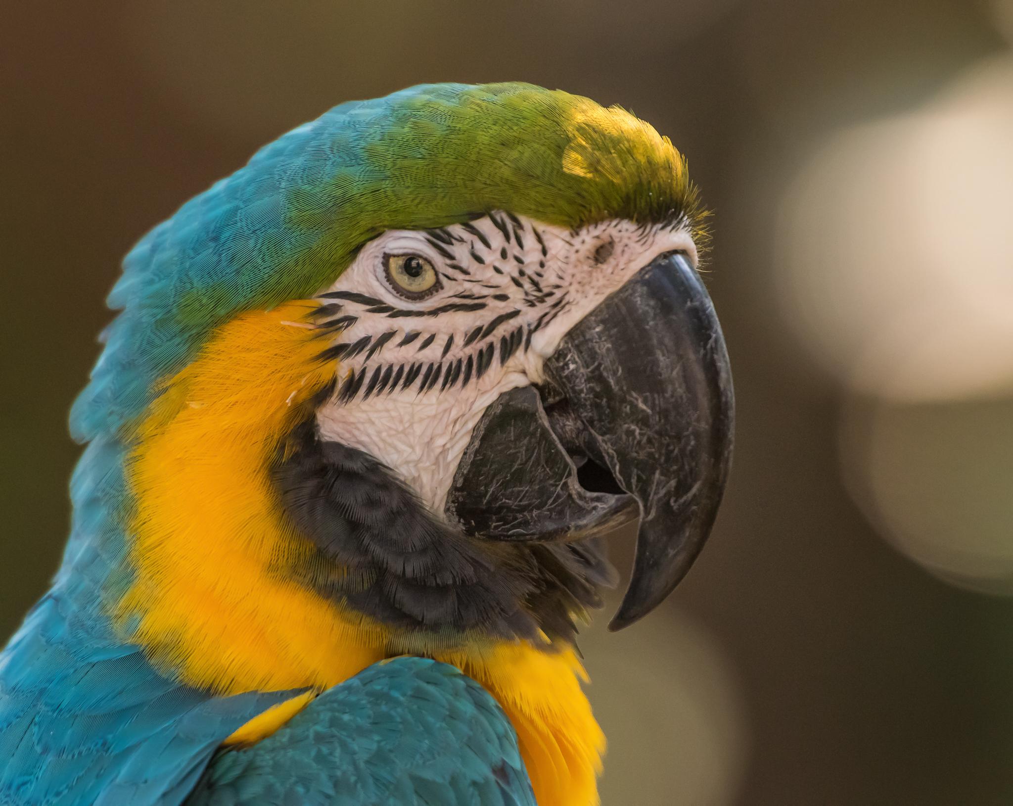 Parrot Closeup 6