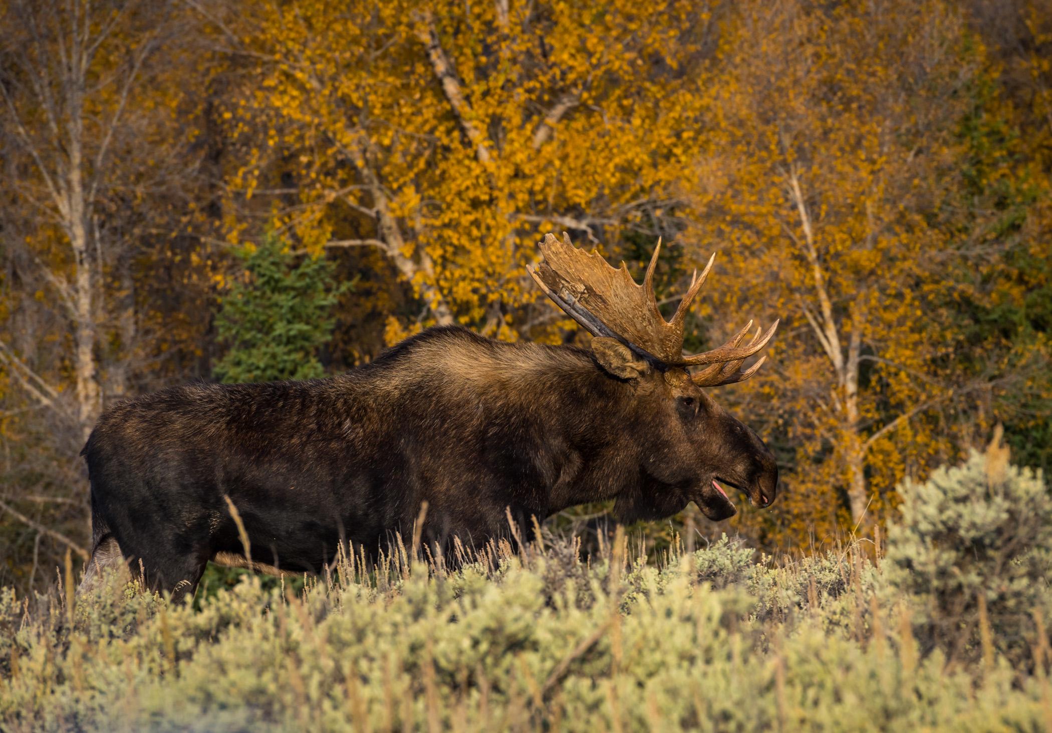 Moose at Schwabachers Landing