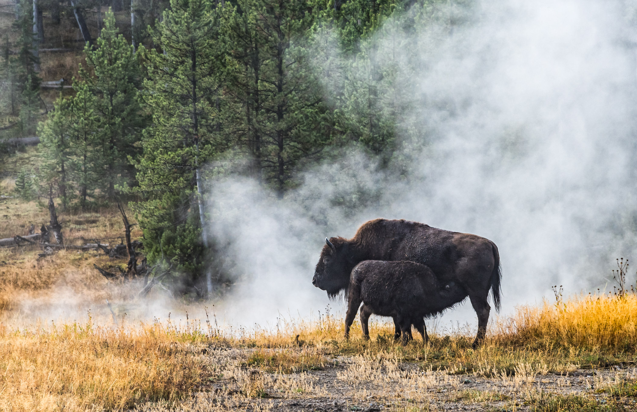 Bison Lunch Time