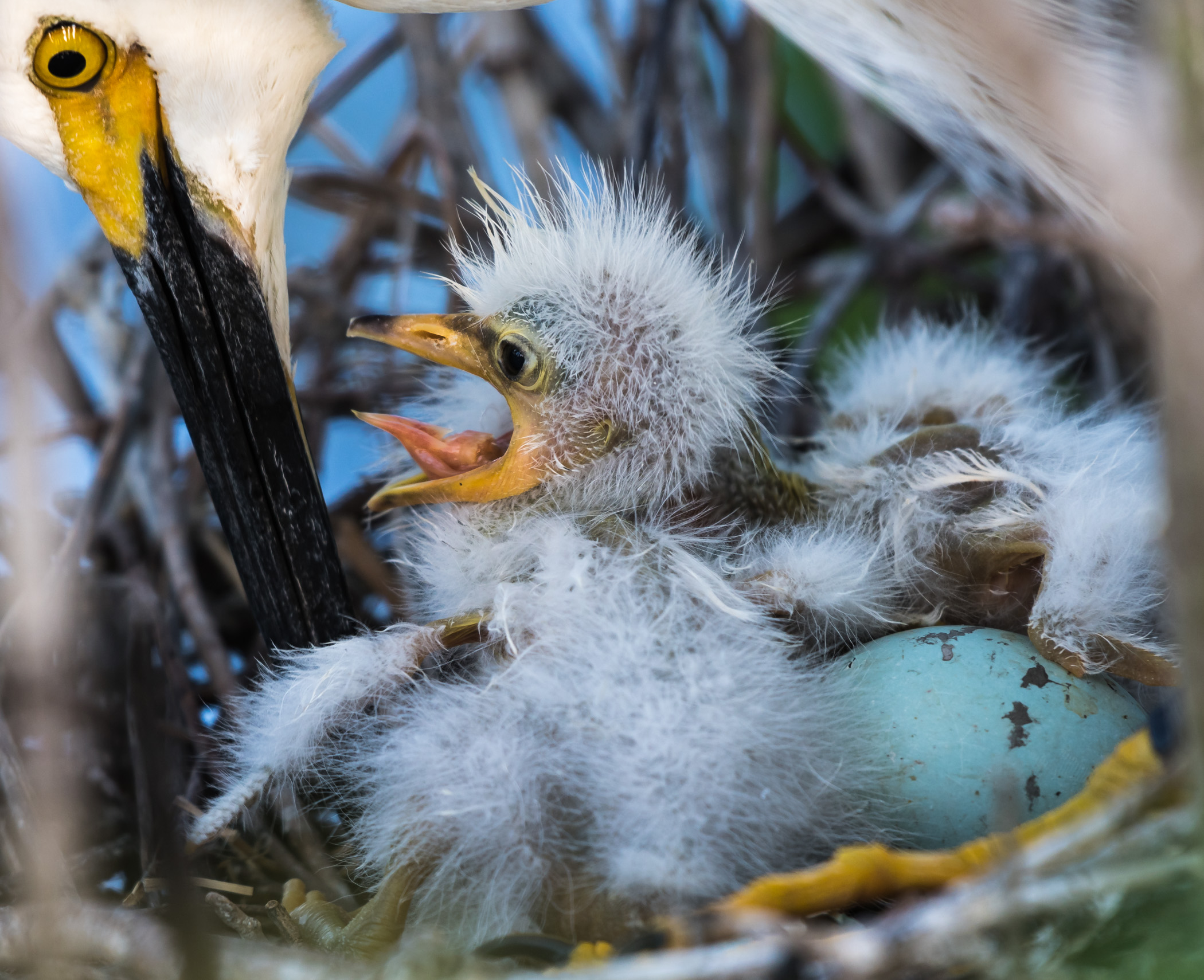 Hungrey Baby Egret