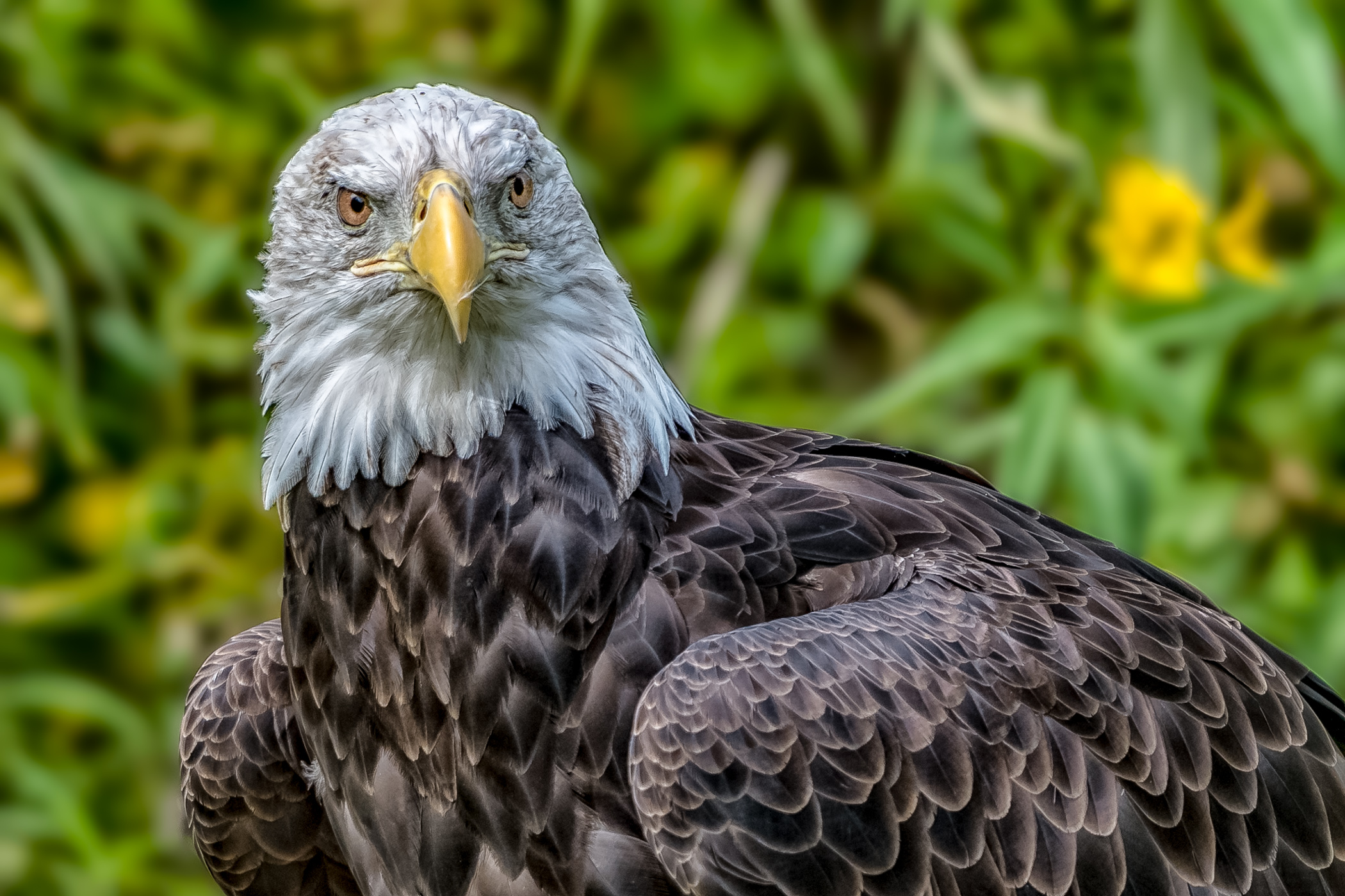 Eagle Closeup