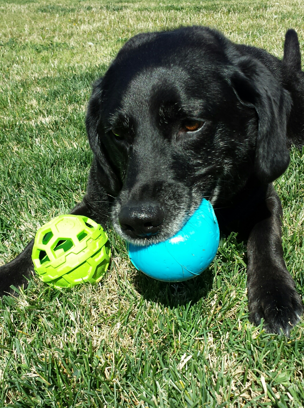 """Our""""chewer,"""" Dakota with an iSqueak ball on this birthday."""