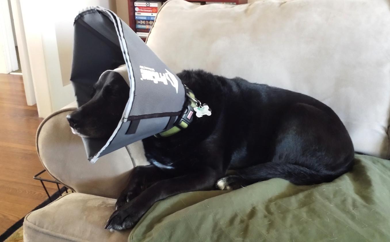 Dakota wearing his ProCone Recovery Collar.
