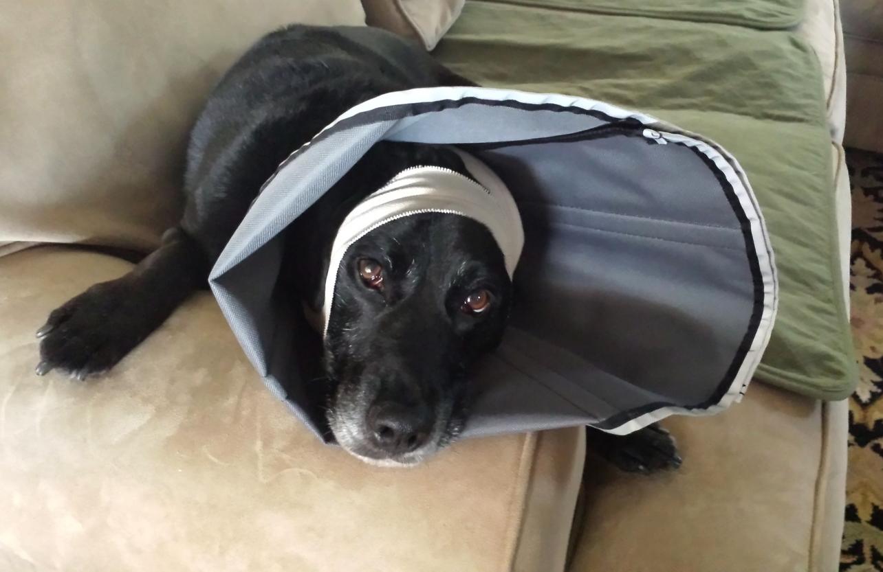 Dakota wearing the soft ProCone Recovery Collar.